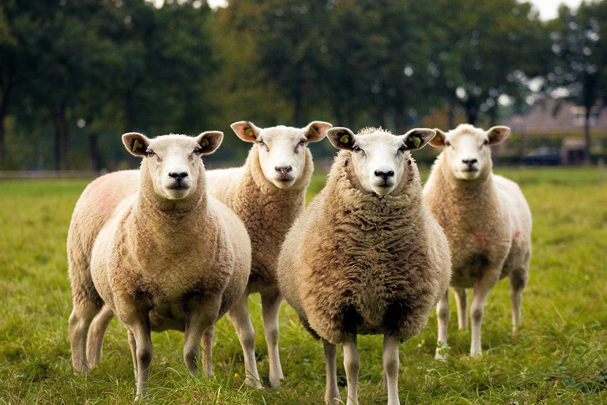 IoT en la gestión de ganado