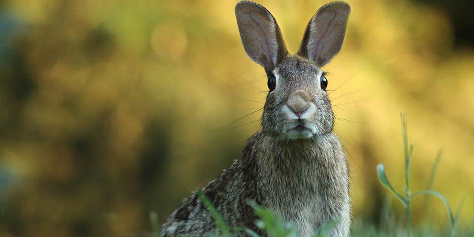 un conejo a alerta ante cualquier novedad